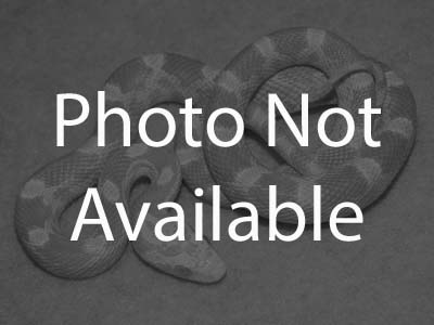 Corn Snakes For Sale  Find a Pet Corn Snake at PetReptiles org