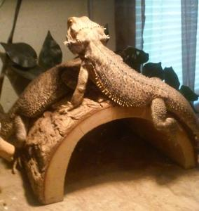 Bearded Dragons For Sale - PetReptiles org