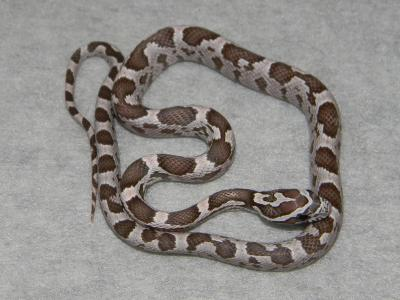 Coral Ghost Corn Snakes For Sale - PetReptiles org