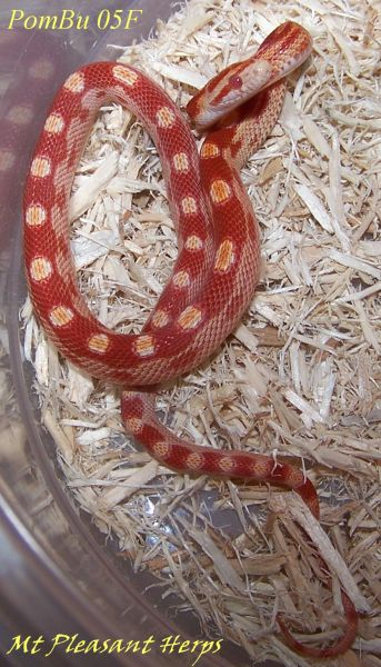 SOLD! 2015 Red Albino (Amelanistic) Motley corn snake, 100
